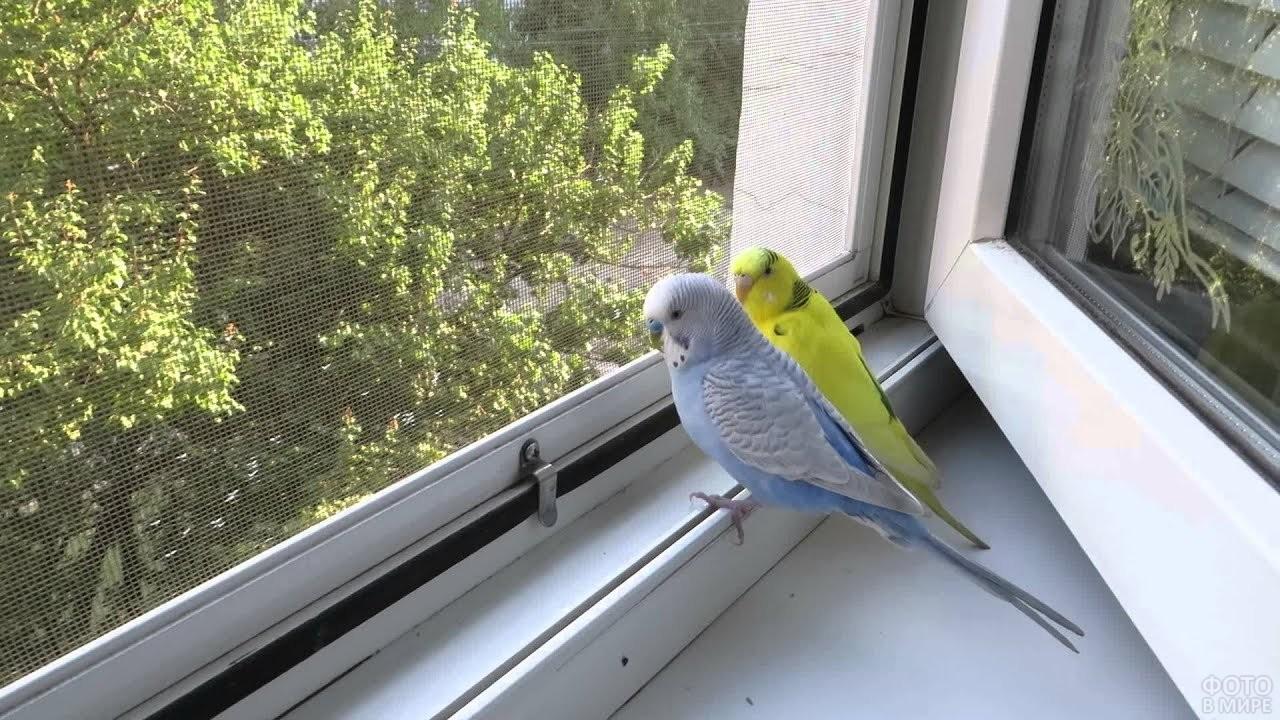 Два волнистых попугайчика смотрят в окно