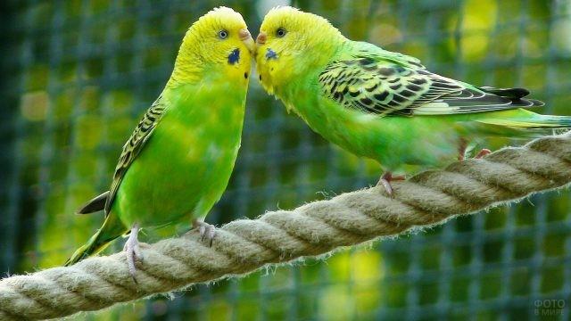Два зелёных попугая сидят на канате