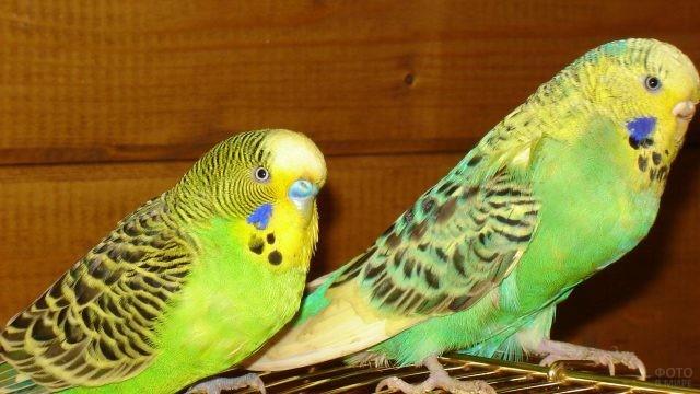Два зелёных волнистых попугайчика