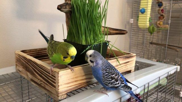Голубой и зелёный волнистые попугайчики