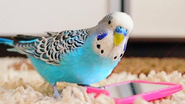 Голубой попугай сидит возле зеркала