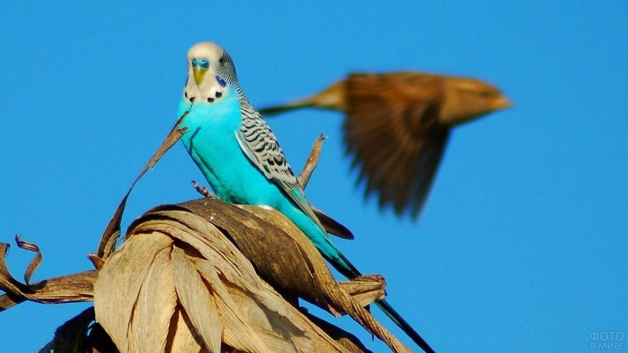 Голубой волнистый попугай на фоне неба