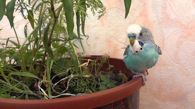 Голубой волнистый попугай сидит на краю цветочного горшка
