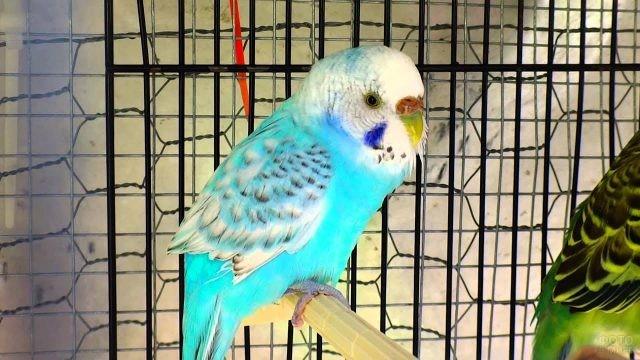 Голубой волнистый попугай сидит на жёрдочке