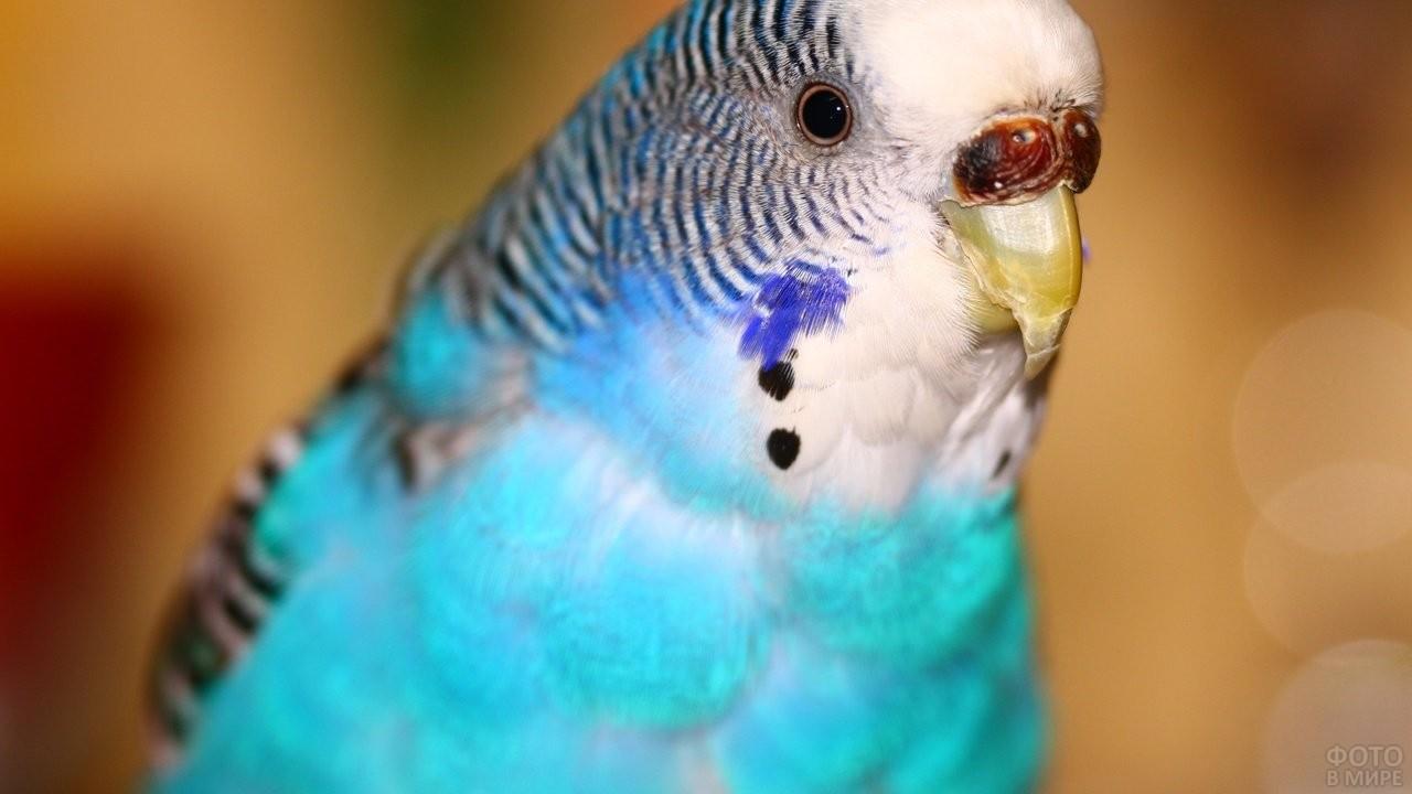 Голубой волнистый попугайчик