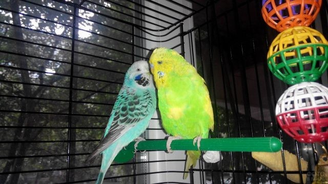 Пара волнистых попугаев