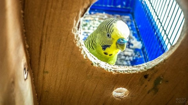 Попугай выглядывает из круглого отверстия