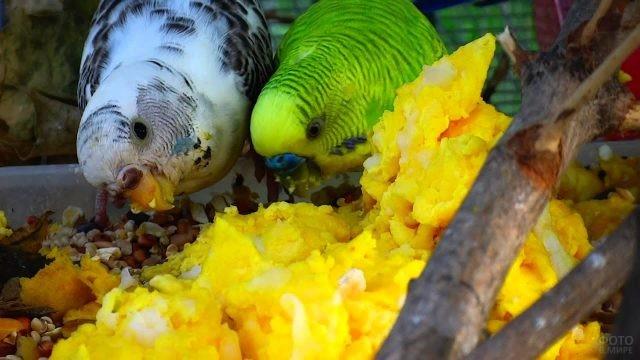 Волнистые попугаи едят корм