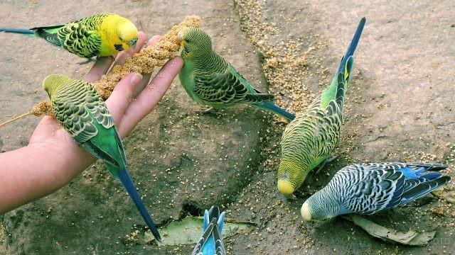 Волнистые попугайчики едят с рук человека