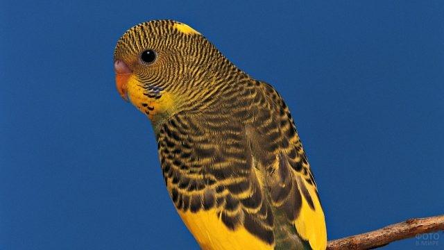Волнистый попугай на синем фоне