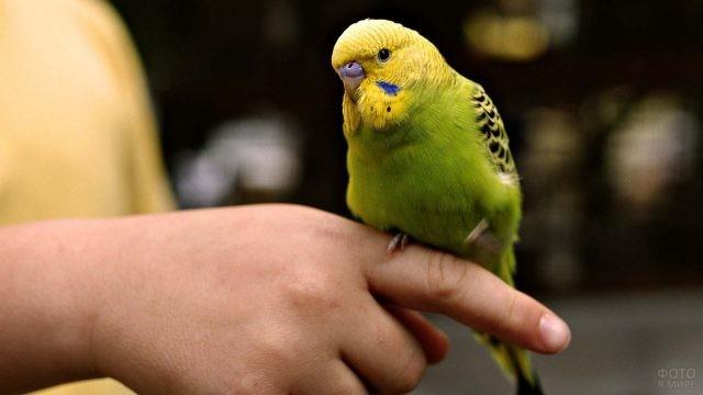 Волнистый попугай сидит на пальце человека