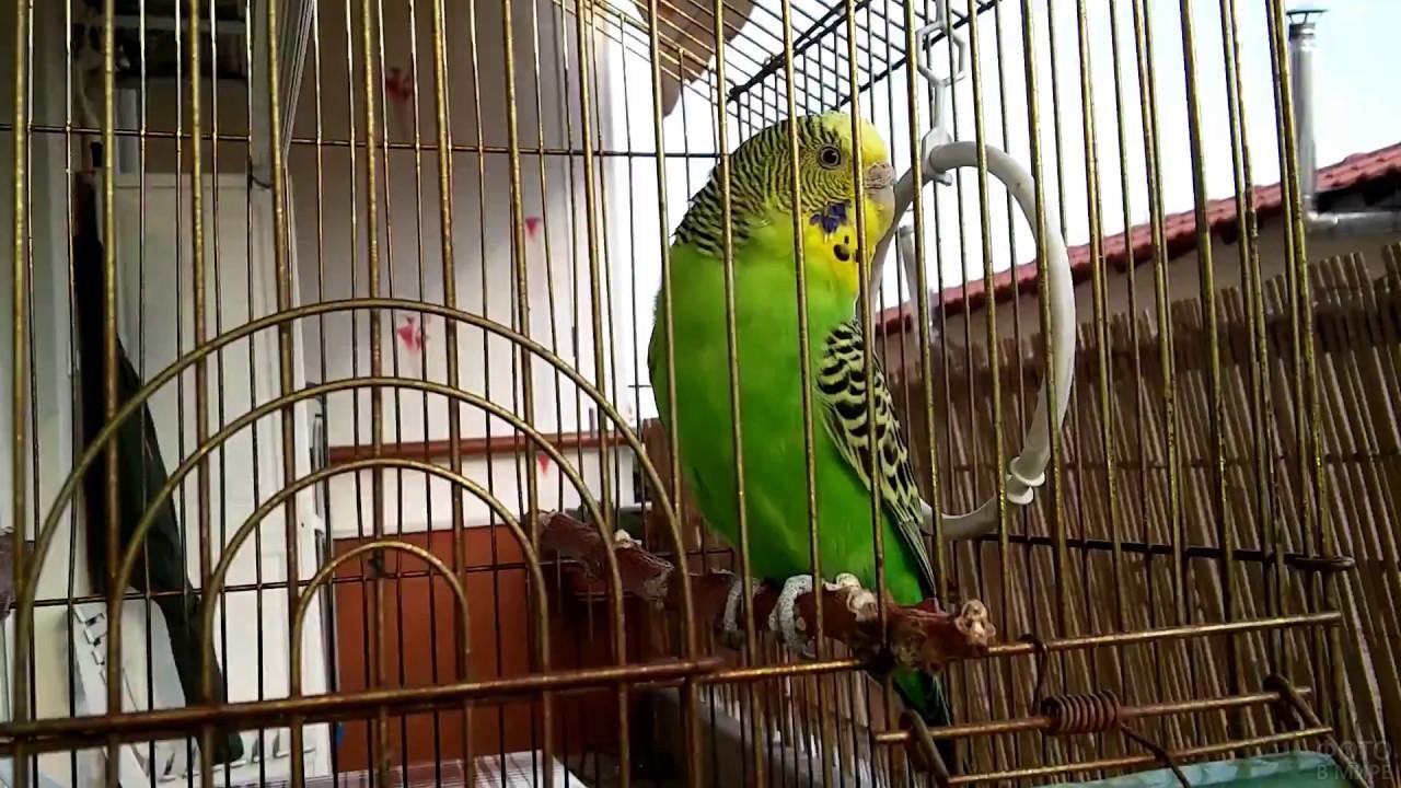 Волнистый попугай сидит на жёрдочке