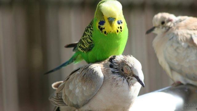 Волнистый попугай сидит верхом на птице