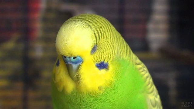 Зелёный попугай дремлет
