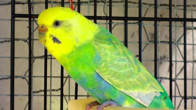 Зелёный волнистый попугай сидит в своей клетке