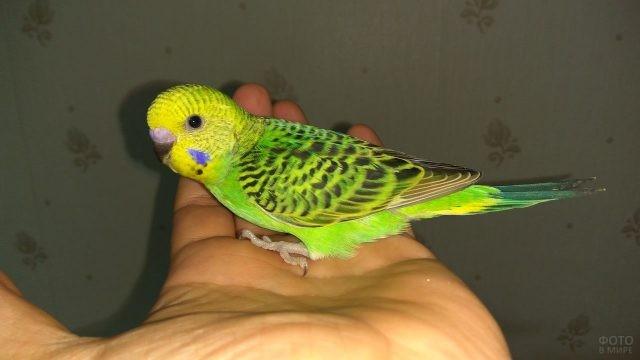 Зелёный волнистый попугайчик сидит на руке человека