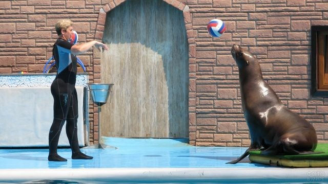 Морской котик играет с мячом