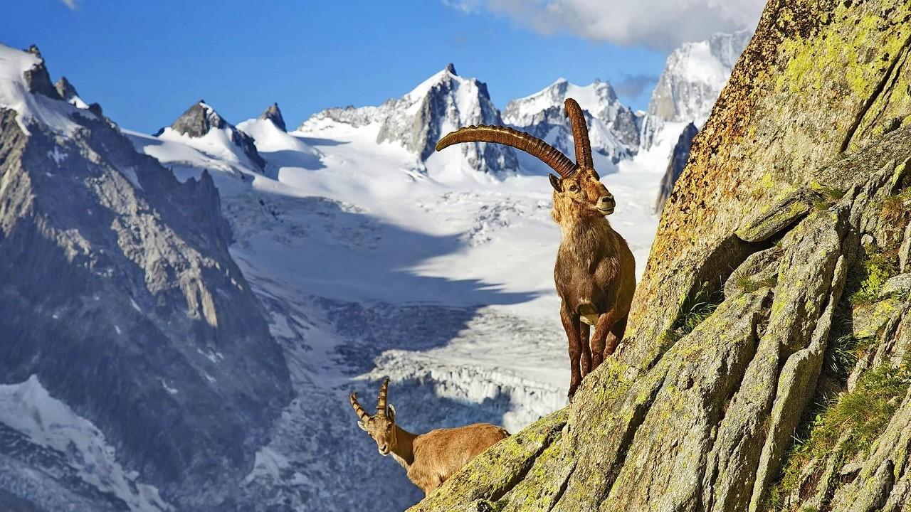 Рогатый козёл на выступе горы