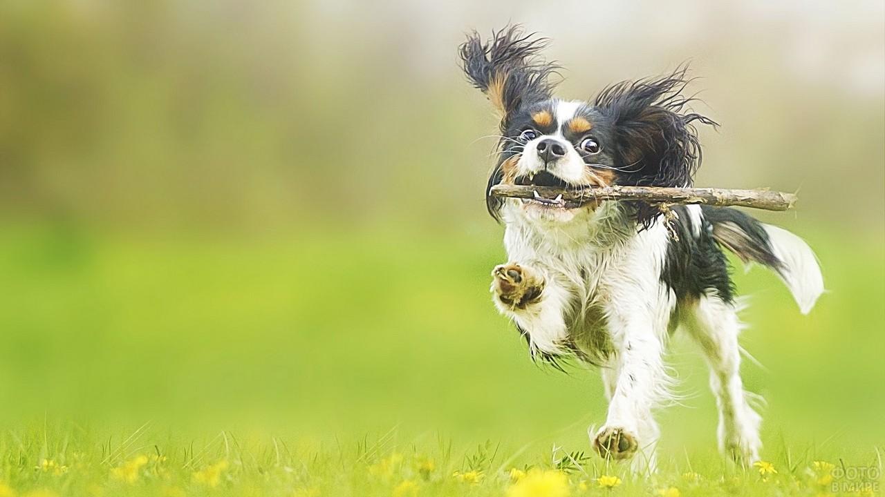 Бегущий пёс с палкой в зубах
