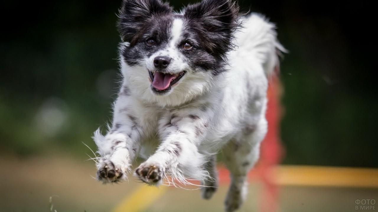 Чёрно-белая собака бежит