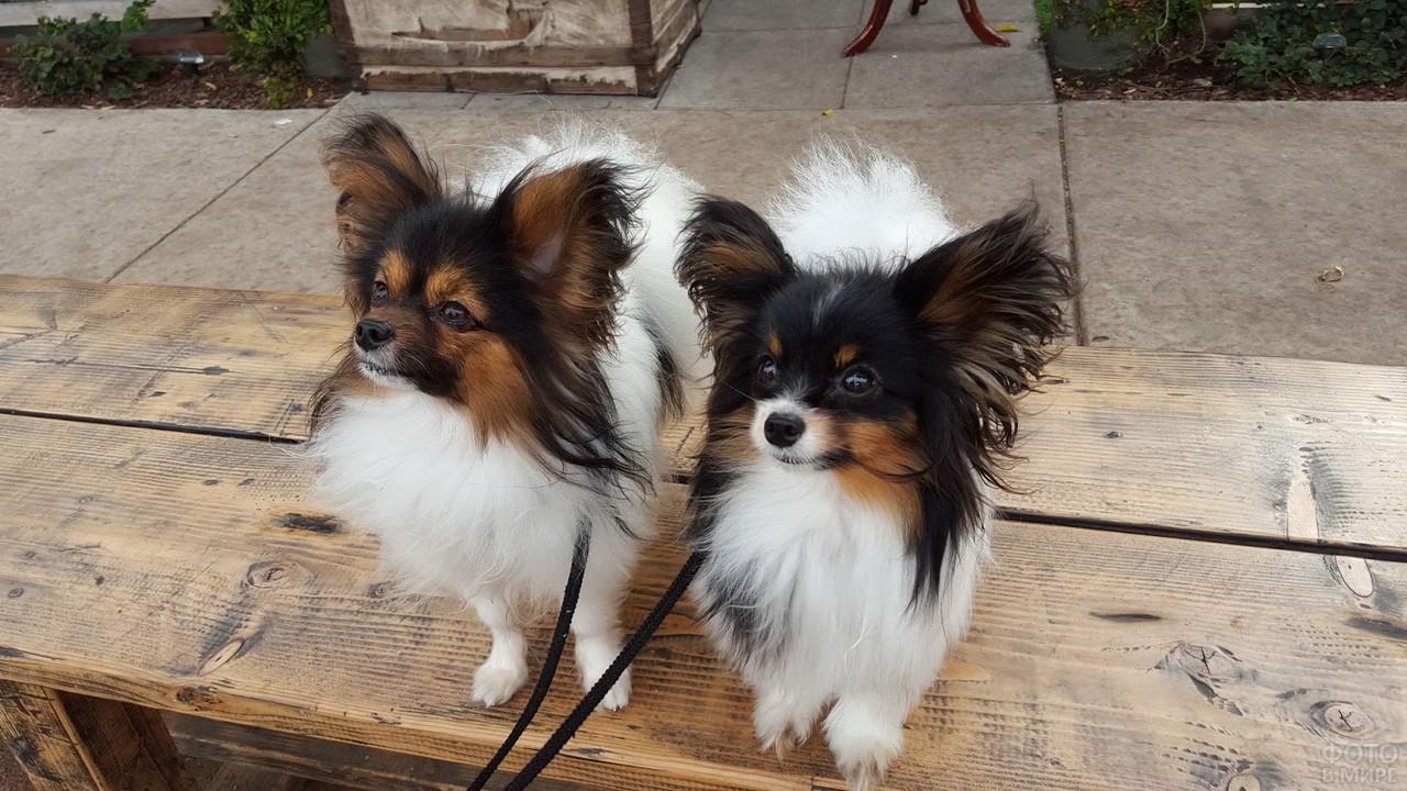 Две маленькие собачки на деревянной лавке