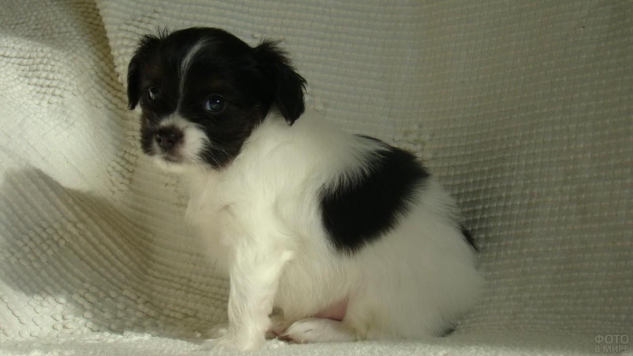 Грустный щенок папильон на белом диване