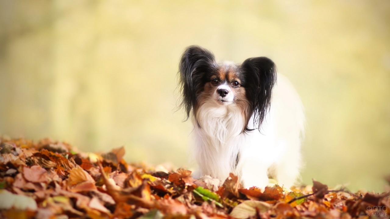 Континентальный той-терьер на осенних листьях
