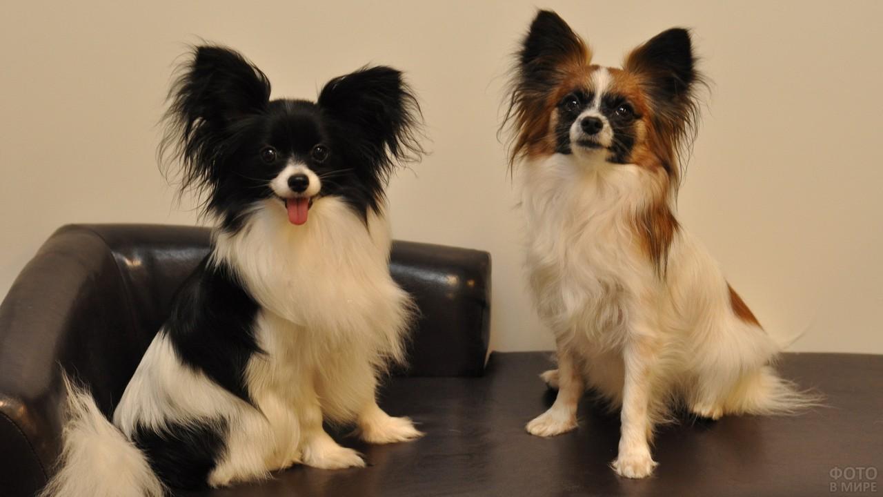 Маленькие собаки папильон на кожаном диване