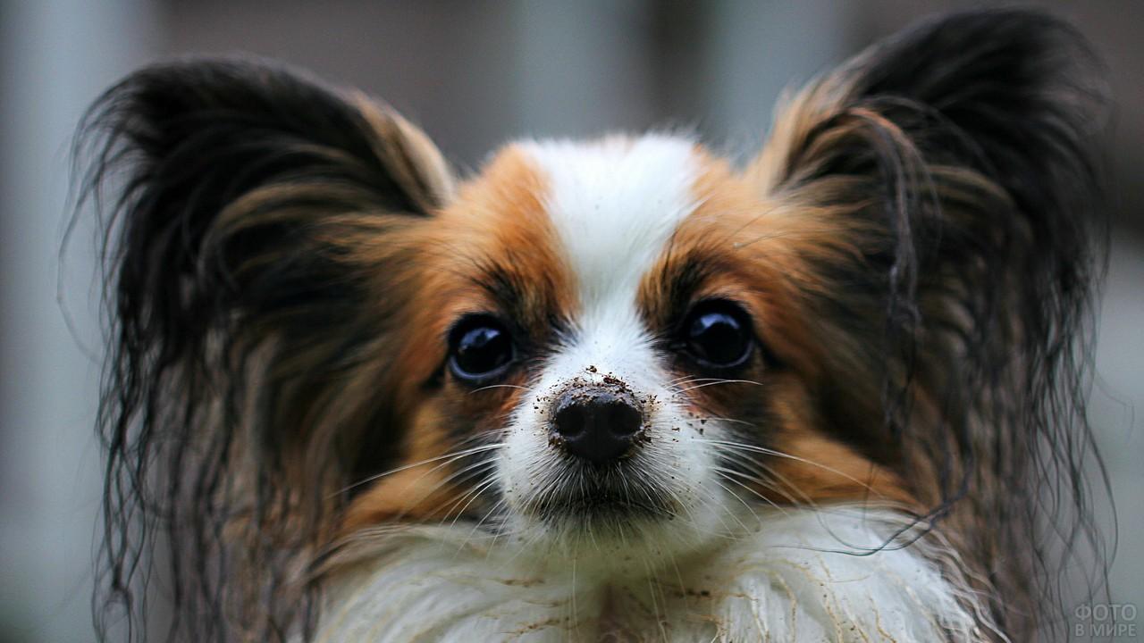 Нос в земле у собаки папильон