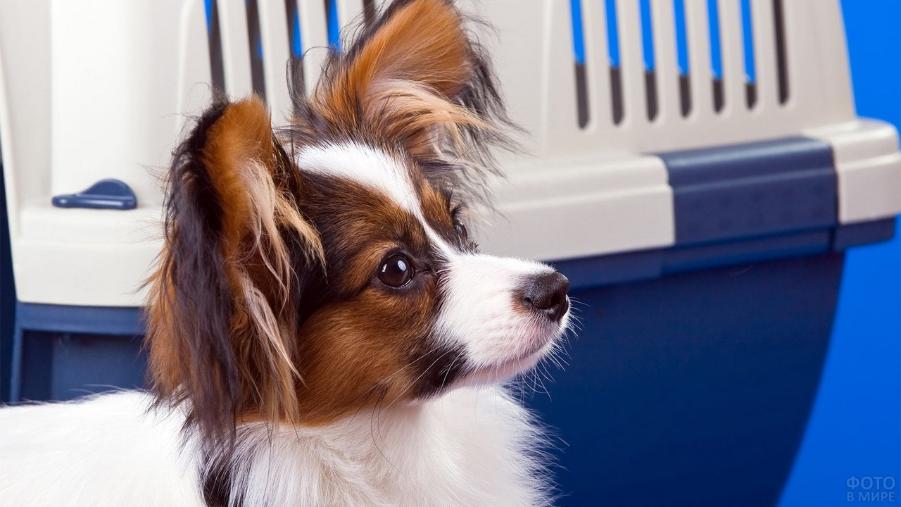 Папильон возле переноски для собак