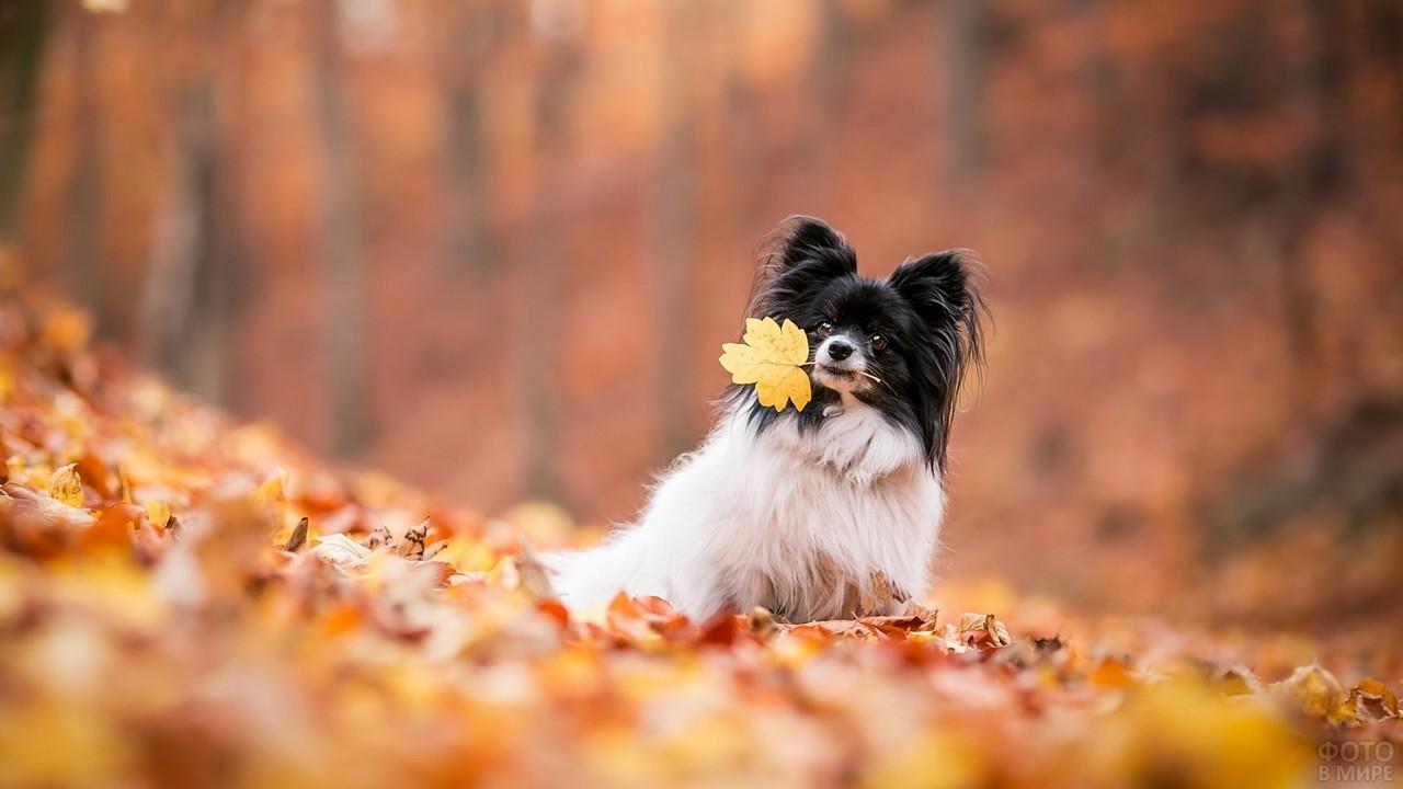 Послушная собака держит осенний лист в зубах