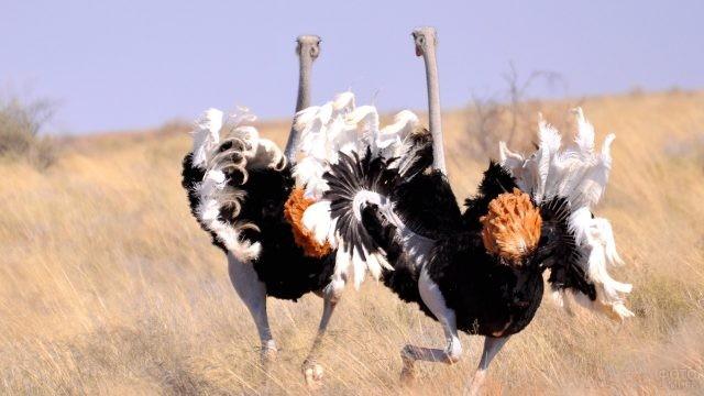 Африканские страусы с оранжевым хвостом бегают среди высокой травы