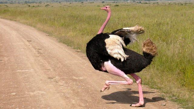 Африканский страус перебегает через дорогу