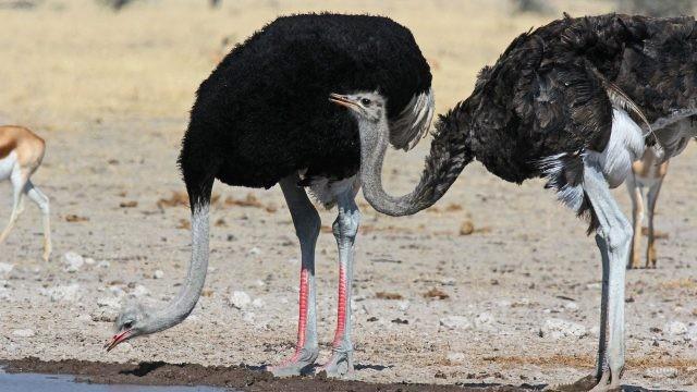 Большие птицы пьют воду