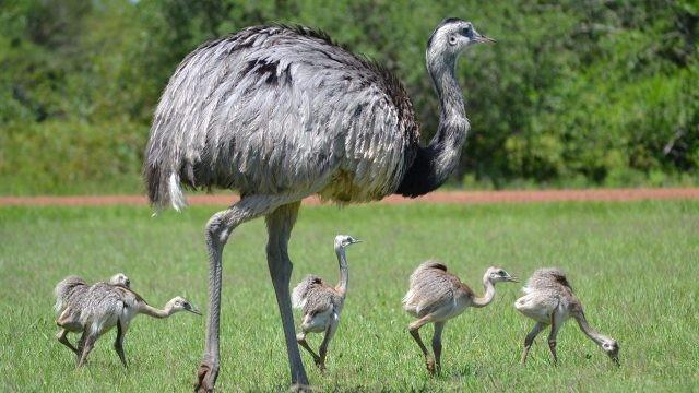Большой страус прогуливается со своими детьми