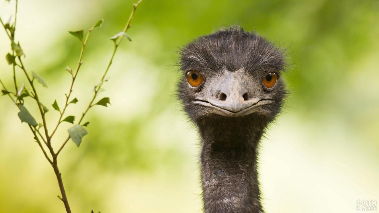 Чёрный хмурый страус с вытянутым клювом