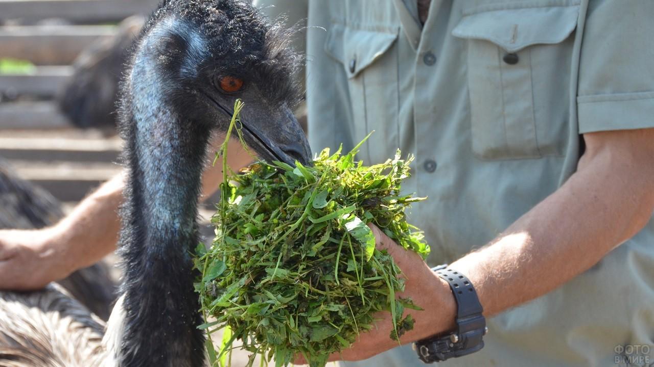 Чёрный страус кушает травку с ладони
