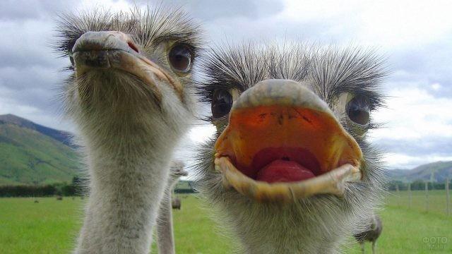 Два смешных страуса крупным планом