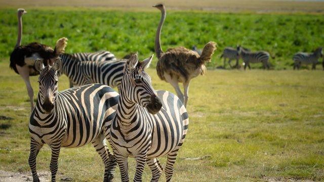 Два страуса гуляют рядом со стадом зебр
