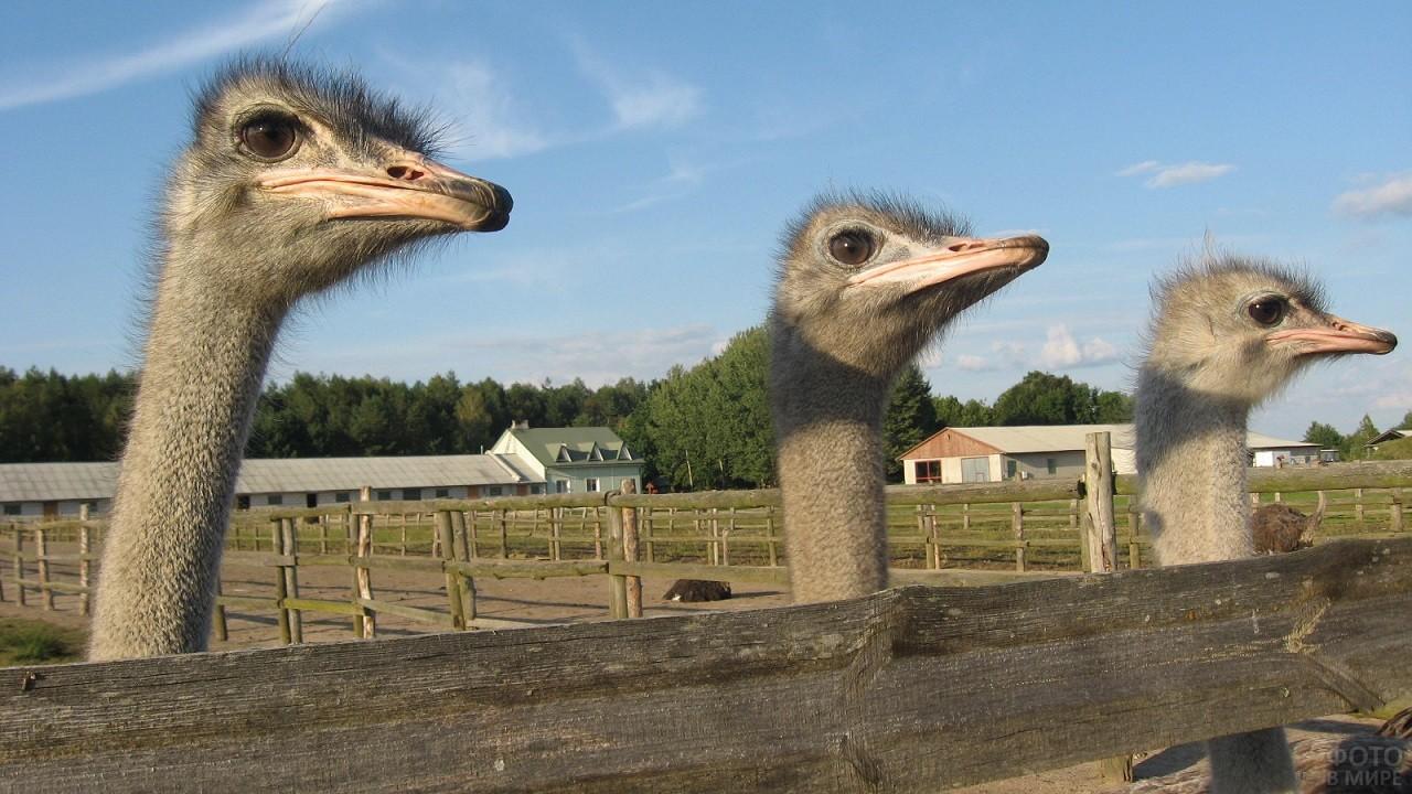 Головы страусов над забором