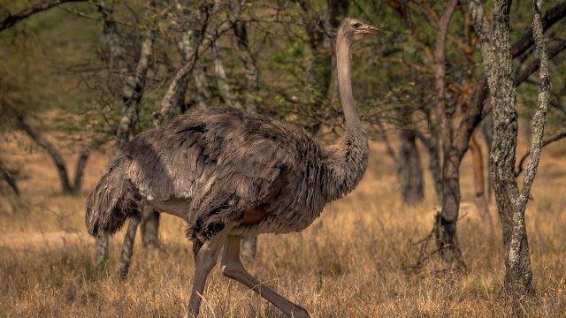 Коричневый пернатый страус гуляет по природе