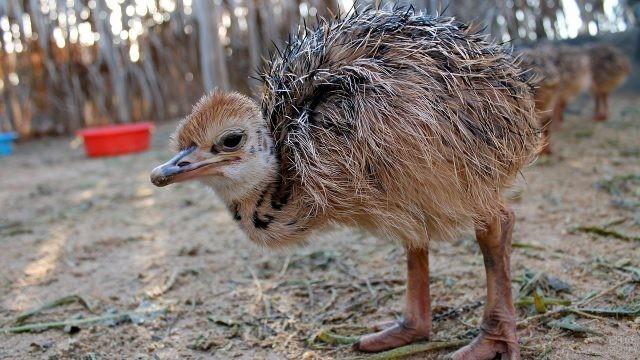 Маленький страусёнок стоит на своих крепких ногах
