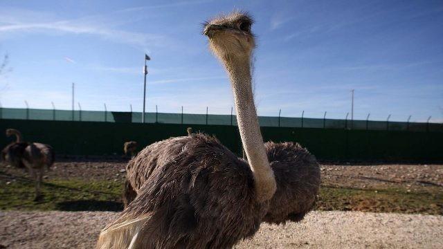 Молодой страус раскрыл свои крылья