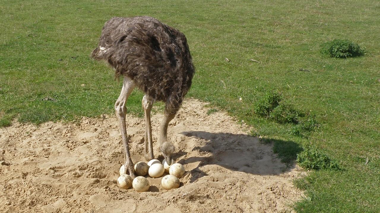 Небольшое гнездо страуса с отложенными яйцами