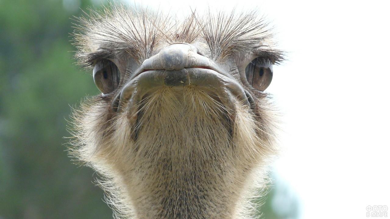 Недовольная морда малыша страуса