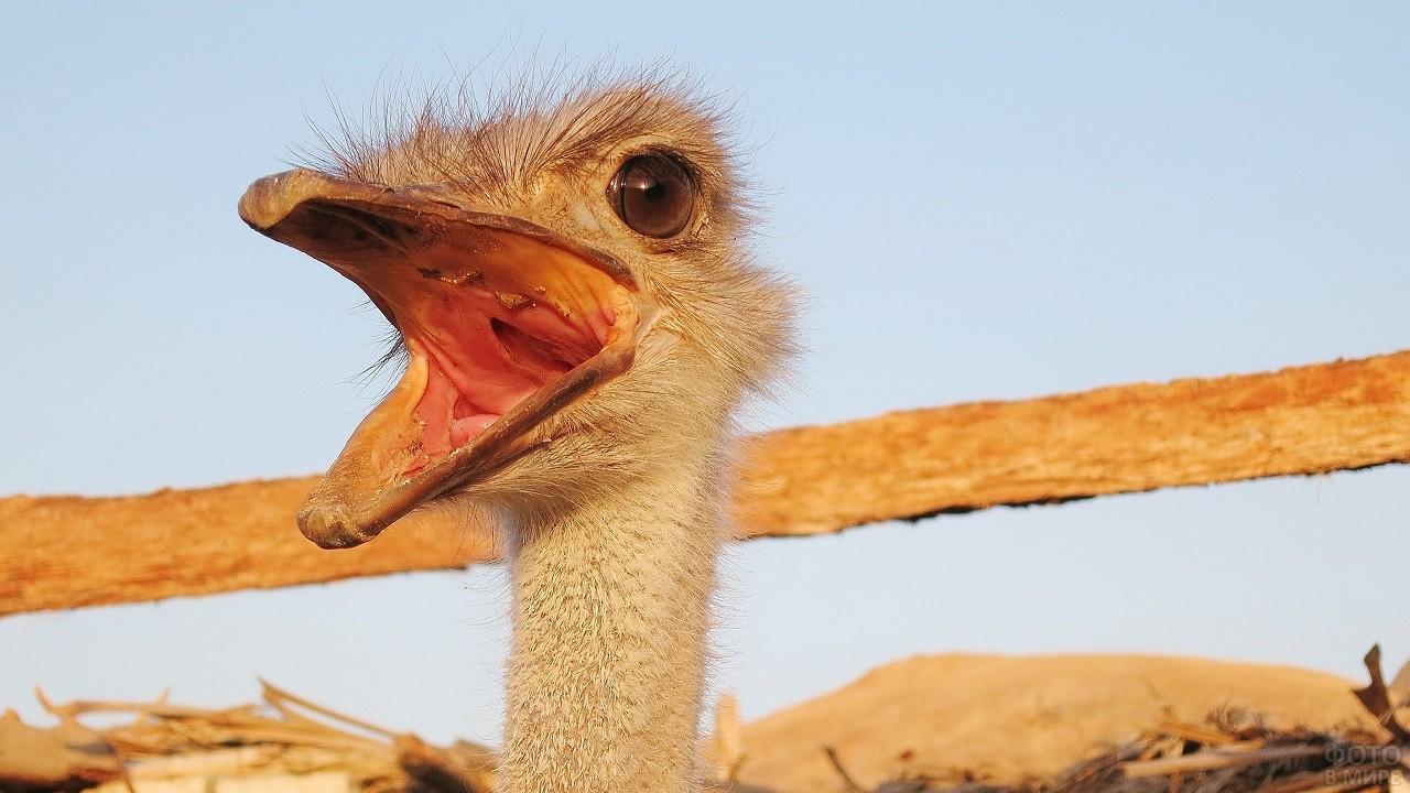 Птица эму стоит, широко открыв клюв