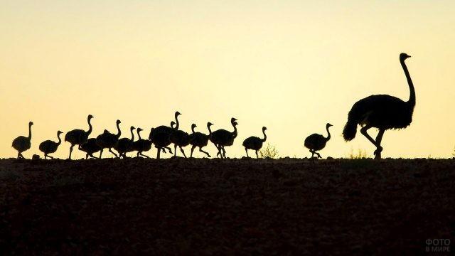 Силуэты страусов на горизонте