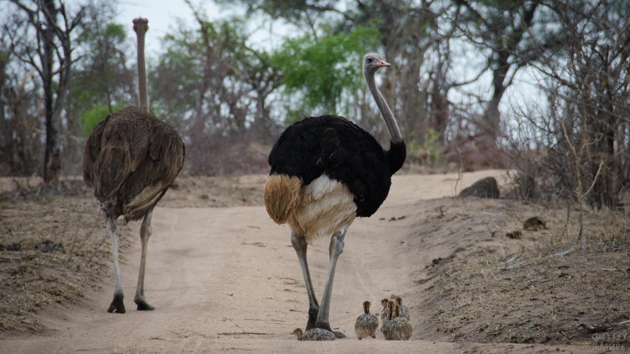Страусы гуляют с детёнышами по саванне