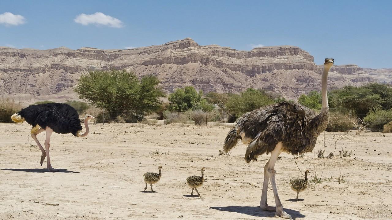 Страусы со страусятами в саванне