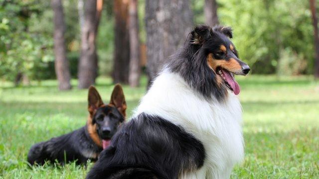 Колли и немецкая овчарка в лесу